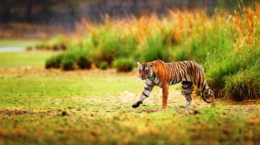Sariska Tiger Reserve, Alwar - Travel Guide - Tusk Travel